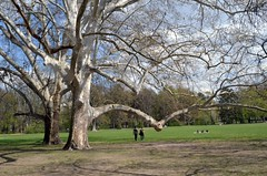 Budapest . Old trees in Margaret Island Park (presbi) Tags: budapest margaretisland park parco trees albero platinumheartaward ruby10 ruby15 ruby20
