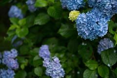 Hydrangea (RenField - Toel-ul Laputa) Tags: blue plant flower green art nature rain japan 50mm nikon sigma kagoshima  hydrangea      kirishima         d800e