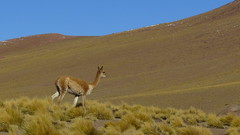 "Vicunas <a style=""margin-left:10px; font-size:0.8em;"" href=""http://www.flickr.com/photos/83080376@N03/18969306682/"" target=""_blank"">@flickr</a>"