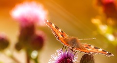 Butterfly (Delbrücker) Tags: macro nature animal butterfly insect lights bokeh outdoor natur romantic makro insekt tier schmetterling nikkor105mm nikond610