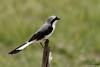 Grey-backed Fiscal (dragoms) Tags: bird kenya wildlife ave birdwatcher maasaimara wildlifephotography quénia greybackedfiscal laniusexcubitoroides wildlifeconservancy dragoms