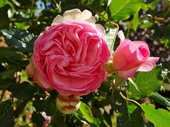 20150606h Roses (@bodil) Tags: pink flowers france rose fleurs normandie pierrederonsard