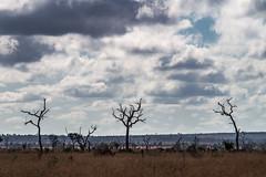 Three dead trees (staanie) Tags: africa travel k reisen pentax daniel south afrika 50 2015 schradi