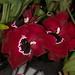 Miltoniopsis hybrid – Lisa Humphreys