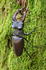 Vliegend Hert - Stag Beetle (Rob Zweers) Tags: lucanuscervus hirschkäfer lucanecerfvolant stagbeetle cabraloura vliegendhert tokina100mm28 robzweers
