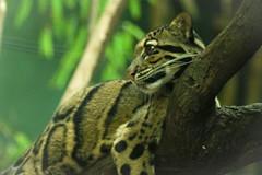Clouded Leopard (_StrangeCharm) Tags: atlanta wild animals georgia zoo wildlife leopard bigcats clouded