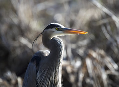 (paulh192) Tags: sunlight detail heron nature closeup sunrise nikon feathers sigma blueheron
