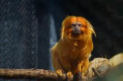 staring-edited (Brandywine Zoo) Tags: golden lion tamarins