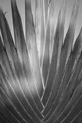 GhanaJuly2015-8697 (ImageAuto) Tags: plants green sunshine coconut palm ghana blueskies accra nsawam