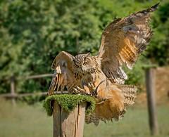 L'atterraggio di Ugo (marypink) Tags: focus bokeh details owl predator birdofprey rapace gufo 70300mmf456 oasisantalessio nikond7200