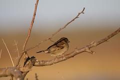 House Sparrow (stephen.reynolds) Tags: bird winter rsbp frampton blue sky house sparrow