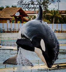 crazy jump (orcamel30) Tags: orca orque orcamel30 wikie killer whale epaulard marineland nikon d5200 55300 pictures photo animal beautiful magnifique