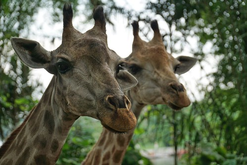 Giraffes DSC08964