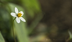 Simplicity (Sukiraman Manivannan) Tags: simple single serene white yellow green plant flower depth field extreme