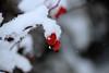 Rosehips in the Snow (Rolf-Schweizer) Tags: rosehip hagebutten schweiz swiss switzerland stgallertagblatt suisse schnee snow ice eis naturephotography bauer bauernverband nature rolfschweizer rolfschweizerfotografie rolfschweizerphotography romance thechurchofjesuschristoflatterdaysaints toggenburg keystone kunst kirchejesuchristiderheiligenderletztentage heart hoffeld heaven harmony himmel hoffnung hope ostschweiz