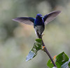 White-necked Jacobin (NP Rothman) Tags: costa rica hummingbird rancho naturalista florisugamellivora