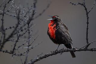 Long-tailed Meadowlark - Sturnella loyca - Loica - Parque Nacional Patagonia