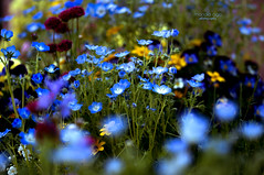 beautiful blue ... (mariola aga ~ OFF vacation) Tags: chicagobotanicgarden glenco spring garden flowerbed flowers blue bokeh depthoffield closeup thegalaxy
