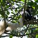 Schwarz-weißer Stummelaffe (Colobus) - 1. Tag Aufstieg zum Umbwe Cave Camp - Kilimanjaro Tansania - Kilimanjaro Kraterschläfer Expedition 2016, Wikinger Reisen