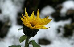 Wunderwelt Natur (dorisgoebel) Tags: gelb yellow blume flower natur sonnenblume sunflower