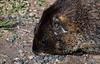 Marmots are tame round here.jpg (tiggerpics2010) Tags: marmots rockies usa colorado continentaldivide