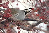 California quail eating fruit from a flowering crabapple tree (jlcummins - Washington State) Tags: bird nature widlife washingtonstate yakimacounty tamronsp150600mmf563divcusd canon backyardbirds californiaquail