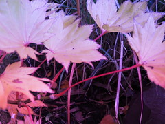 IMG_0238 (starst0rm*<(*?*)>*) Tags: acers trees china