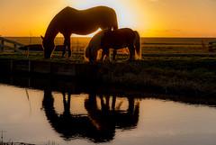 Dutch sunset (Bart Weerdenburg) Tags: sunset sun horse horses paarden silhouette silouetnetherlands nederland holland noordholland animal tegenlicht