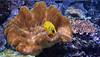 In fondo al mar ! (Salvatore Lo Faro) Tags: fauna mare pesce giallo natura nature acquario milano lombardia italia italy salvatore lofaro nikon 7200 animale corallo acqua sottacqua