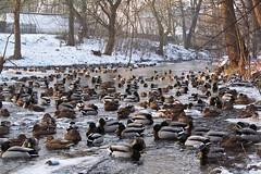 duck town ;) (green_lover) Tags: ducks mallards birds animals critters park river winter żyrardów poland nature
