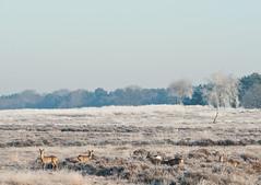 Reetjes4 (yvetteverwer) Tags: hilversum bussum laren gooi hei heide bos natuur forest field nature winter cold sun zon landschap landscape wildlife ree reeen