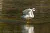 Walking on water? (ChicagoBob46) Tags: trumpeterswan swan bird yellowstone yellowstonenationalpark nature wildlife