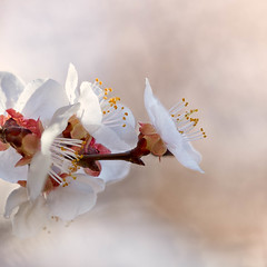 Spring Blooms (mclcbooks) Tags: flower flowers floral macro closeup fruit tree blossoms blossom spring denverbotanicgardens colorado apricot apricots
