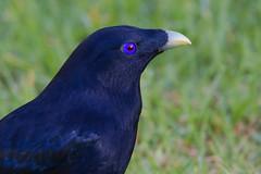 Satin Bowerbird (Ptilonorhynchus violaceus) (Ian Colley Photography) Tags: satinbowerbird ptilonorhynchusviolaceus portmacquarie bird 500mm