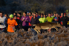 YeeHawwww!!! (paulinuk99999 - tripods are for wimps :)) Tags: paulinuk99999 bushy park runners fallow deer jump path bash jumping action gasp january 2017 sal70400g