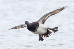 Lesser Scaup Drake (tresed47) Tags: 2017 201701jan 20170119marylandbirds birds cambridge canon7d content ducks folder lesserscaup maryland peterscamera petersphotos places scaup takenby us