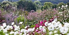 Sommergarten (gundidepp) Tags: garten mygarden echinacea verbenabonariensis anemomajaponica perovskia katzenminze cosmea honorinejobert