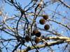 Ψίνθος (Psinthos.Net) Tags: ψίνθοσ psinthos winter january ιανουάριοσ γενάρησ χειμώνασ φύση εξοχή nature countryside sky bluesky γαλάζιοσουρανόσ ουρανόσ treebranches κλαδιάδέντρων κλαδιάδέντρου tree δέντρο πλάτανοσ planetree seeds σπόροι φώσ light sunlight φώσήλιου φώσηλίου κοιλάδα κοιλάδαψίνθοσ κοιλάδαψίνθου psinthosvalley fasoulivalley κοιλάδαφασούλι σκιά shadow
