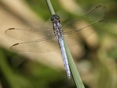 Orthetrum coerulescens ♂ (fturmog) Tags: fauna odonats odonátos odonata libélulas libèl·lules dragonflies alòsdebalaguer