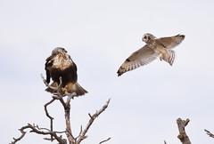 Short-eared Owl mobbing Rough-legged Hawk (Christopher Lindsey) Tags: lequeisland snohomishcounty washington birds birding winter stanwood shortearedowl roughleggedhawk eideroad flying flight mobbing
