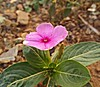 Flor do meu quintal (rayanetavares1) Tags: do meu quintal florzinha rosa linda natural natureza flower flores simples singelas delicada encantadoras
