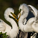 Great White Egret Couple