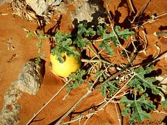 Desert Squash (tinlight7) Tags: squash plant desertsquash desert sand mleiha sharjah uae fruit yellow colocynth taxonomy:kingdom=plantae plantae taxonomy:clade=tracheophyta tracheophyta taxonomy:phylum=magnoliophyta magnoliophyta taxonomy:class=magnoliopsida magnoliopsida taxonomy:order=cucurbitales cucurbitales taxonomy:family=cucurbitaceae cucurbitaceae taxonomy:genus=citrullus citrullus taxonomy:species=colocynthis taxonomy:binomial=citrulluscolocynthis אבטיחהפקועה citrulluscolocynthis coloquíntida taxonomy:common=אבטיחהפקועה taxonomy:common=coloquíntida taxonomy:common=colocynth