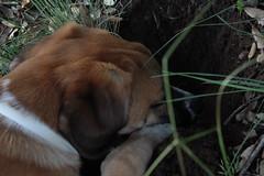 Babel cavando de perfil III (lapelan) Tags: de la agujero campo cerrado serra solitario tarde fútbol babel tierra perra hierba vacío solos bellotas cavar batet