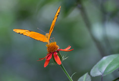 Dancing on the head of a flower (Nancy Asquith) Tags: flower butterfly dryasiulia juliabutterfly