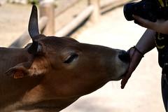 Zébu. (PhotOw'graphie) Tags: zoo main ferme vache zebu
