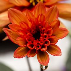 dahlia drops (HHH Honey) Tags: dahlia flowers orange macro beads sigma 25 raindrops 115 sigma50mmdgmacro sonya850 115picturesin2015 25beads
