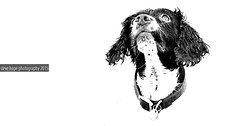 Billy (SteveH1972) Tags: blackandwhite dog pet white monochrome canon background whitebackground billy spaniel springer canonef70200mmf28lusm nonis canon600d