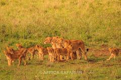 Lion pride (Africa Safari IN) Tags: africa park cub kenya nairobi lion safari national cubs lioness shah 2015 malav nnp africasafari africasafariin