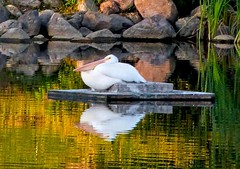 Not very hungry! (Adriana Faciu) Tags: white lake reflection bird nature water lumix edmonton content pelican full panasonic alberta hungry resting beaumaris whitepelican plank bloated